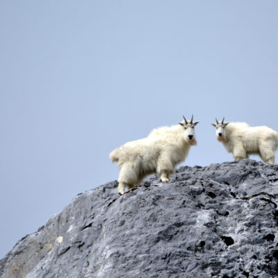 Alaska Mountain goats in Glacier Bay Credit Uncruise