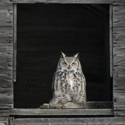 Anthony Bucci Horned Owl